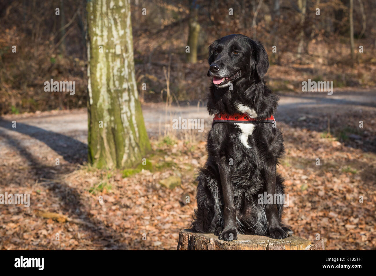 black mixed dog - Stock Image