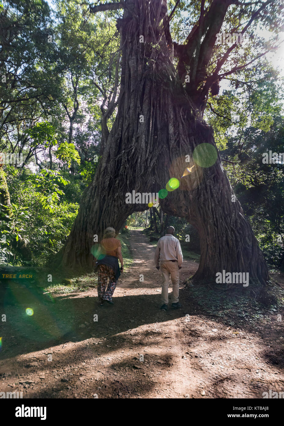 Walking under the Fig Tree Arch, with lens flare, Ausha NP, Tanzania - Stock Image