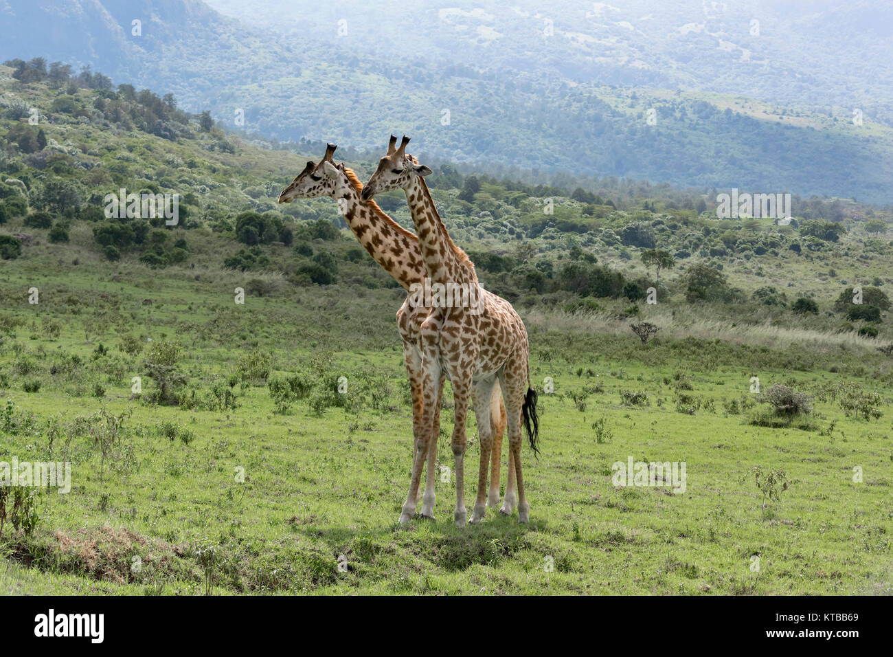 Two young Masai giraffes interacting together 6, near Mount Meru, Arusha NP, Tanzania - Stock Image