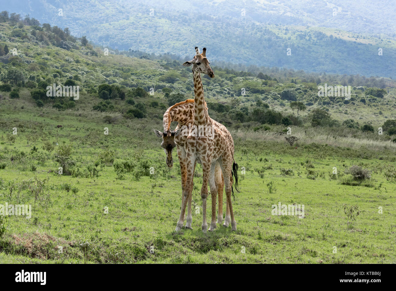 Two young Masai giraffes interacting together 5, near Mount Meru, Arusha NP, Tanzania - Stock Image