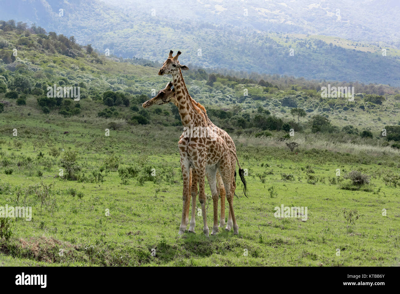 Two young Masai giraffes interacting together 4, near Mount Meru, Arusha NP, Tanzania - Stock Image