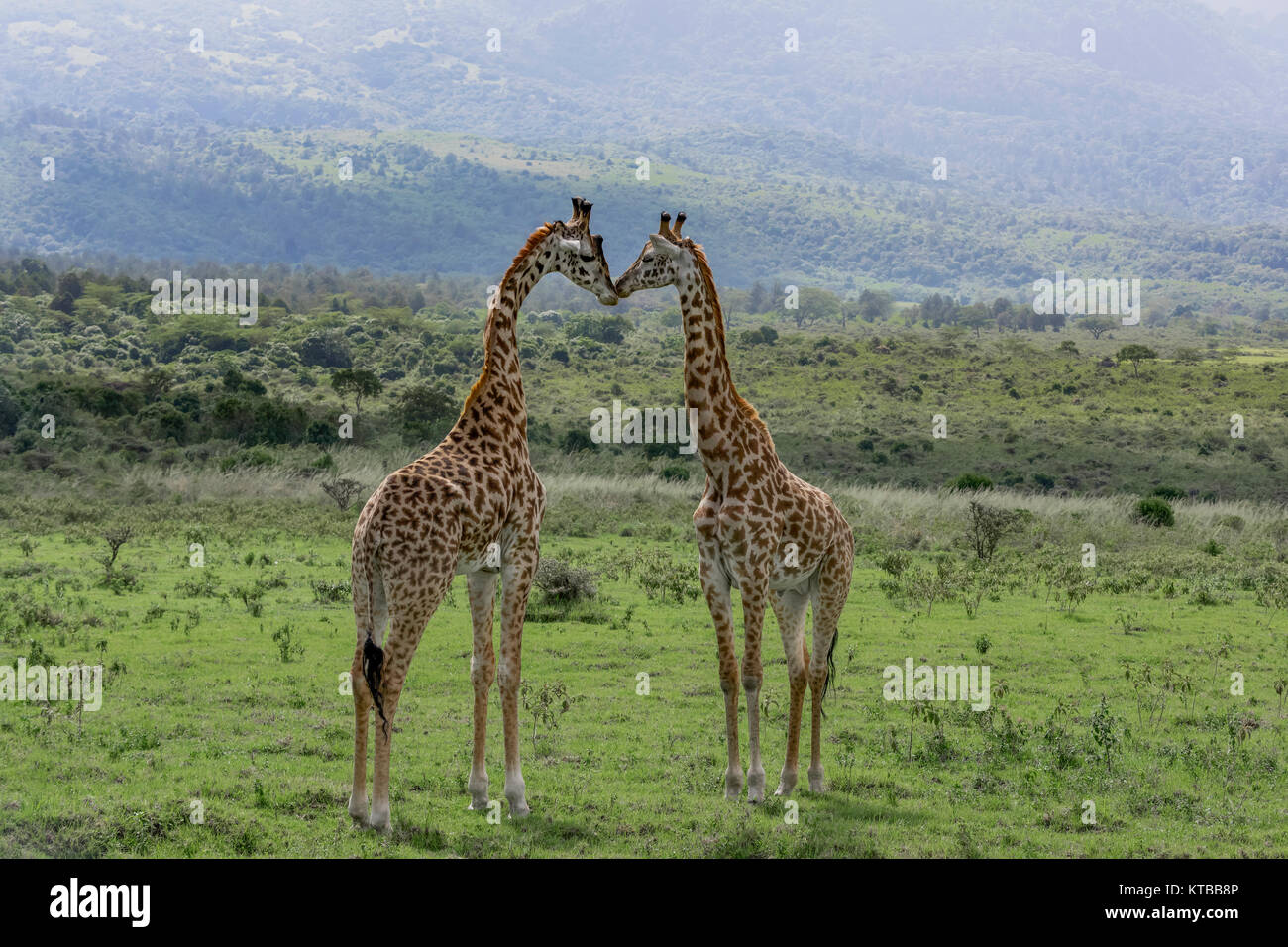 Two young Masai giraffes interacting together 1, near Mount Meru, Arusha NP, Tanzania - Stock Image