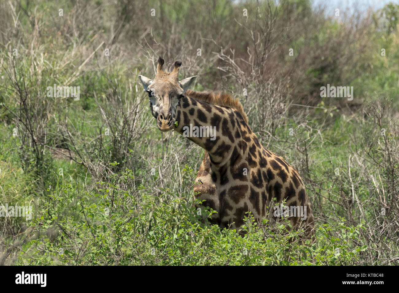 Young Masai giraffe (Giraffa tippelskirchi) munching on leaves, Arusha NP, Tanzania - Stock Image