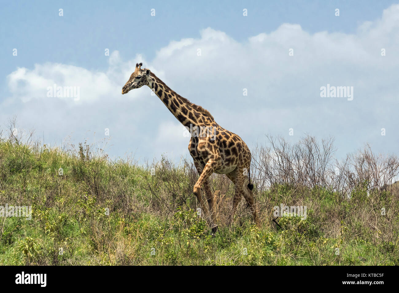 Masai giraffe (Giraffa tippelskirchi) near the top of a hill, Arusha NP, Tanzania - Stock Image