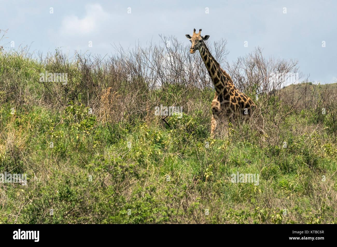 Masai giraffe (Giraffa tippelskirchi) strolling through the bush, Arusha NP, Tanzania - Stock Image