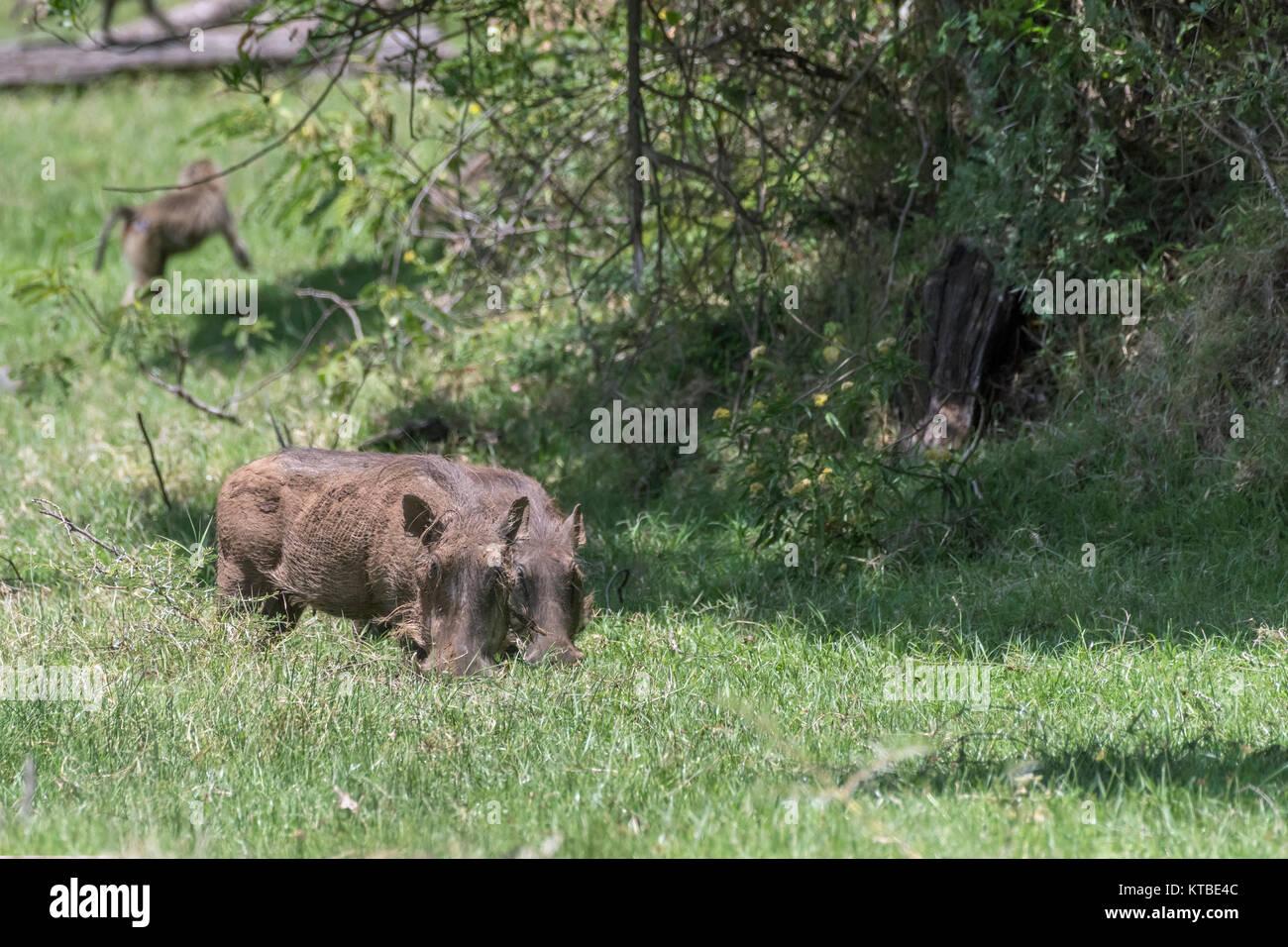 Pair of wart hogs (Phacochoerus africanus) grazing in Arusha NP, Tanzania - Stock Image