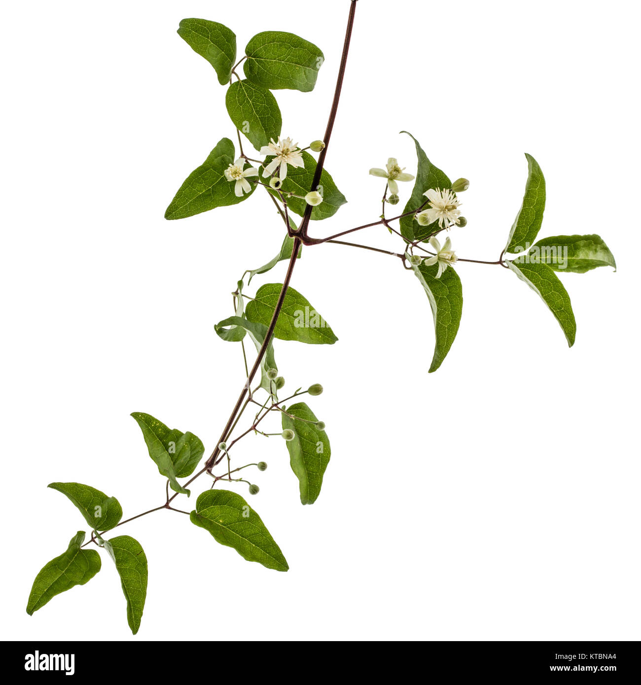 Flowers and leafs of Clematis , lat. Clematis vitalba L., isolated on white background - Stock Image