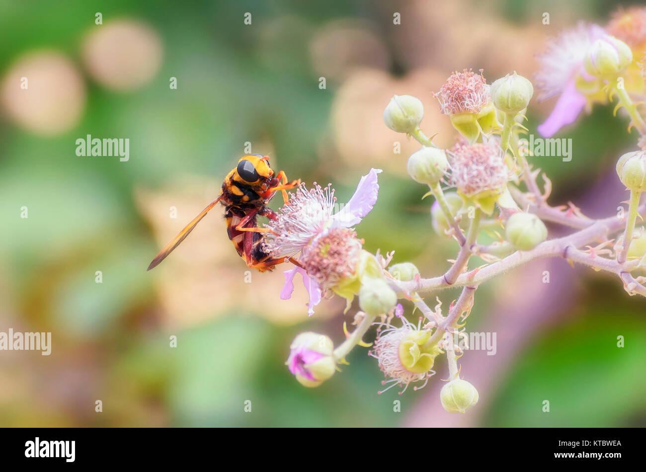 Vespa crabro. European hornet pollinating beautiful flower, of mulberry, in summer season. Wild scene. Some buds - Stock Image