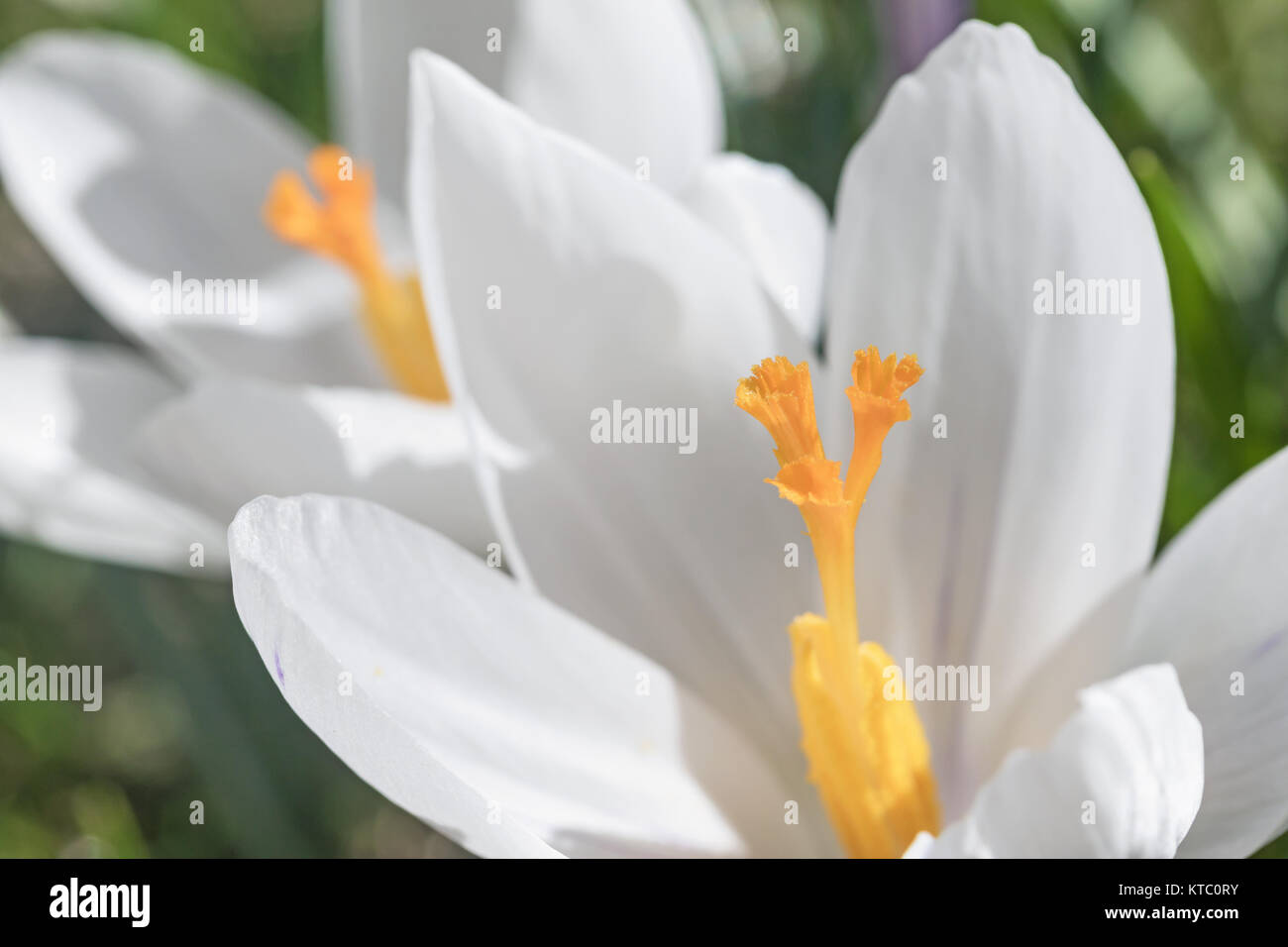 Closeup view of white crocus flower stock photo 169909151 alamy closeup view of white crocus flower mightylinksfo