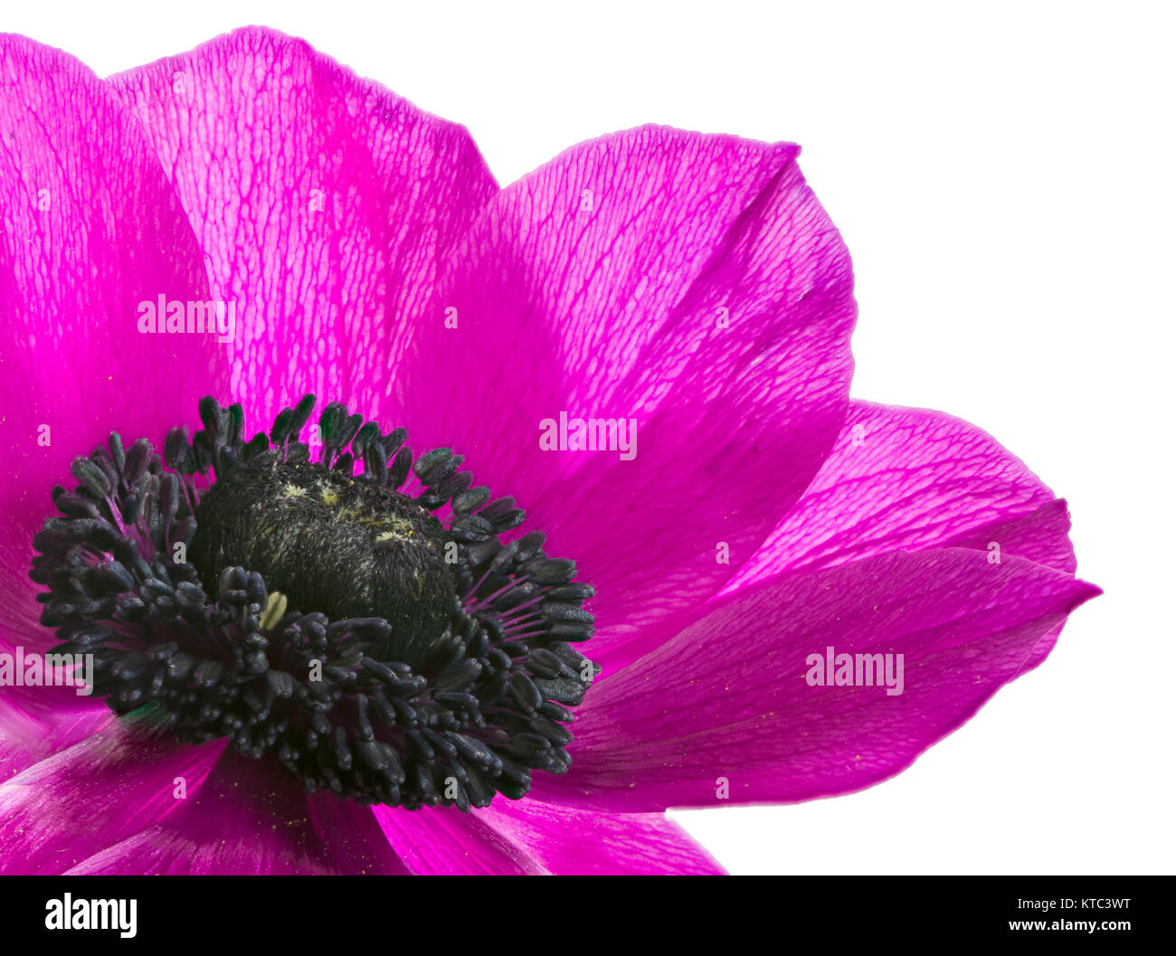 Isolated purple anemone flower blossom Stock Photo