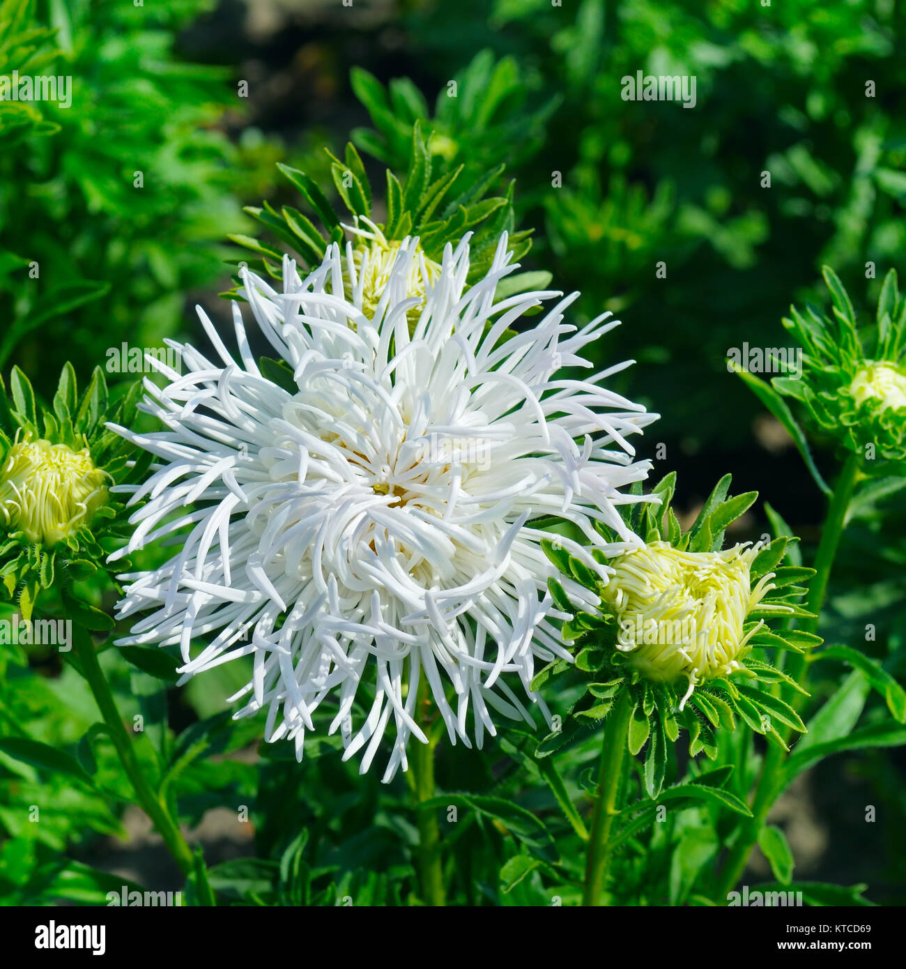 Aster Flowerbed In Summer Focus On A White Flower Stock Photo