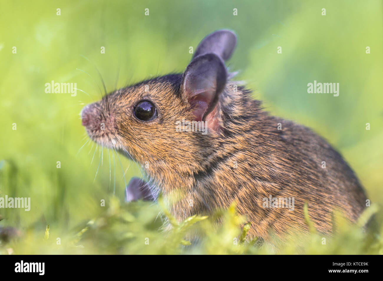Head of Cute Wood mouse (Apodemus sylvaticus) reaching out of green moss natural environment - Stock Image