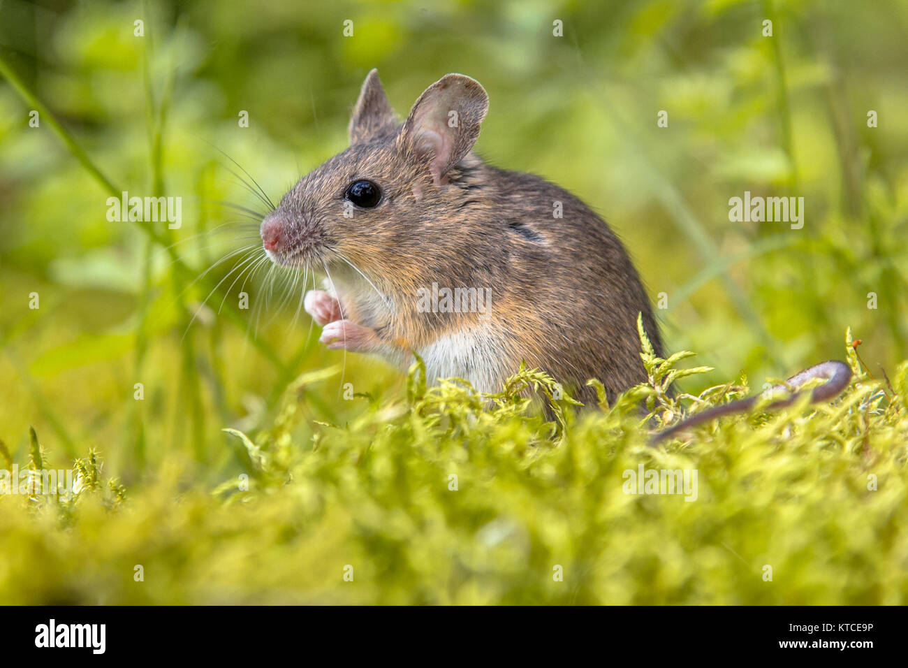 Cute wild Wood mouse (Apodemus sylvaticus) in green moss natural environment and looking in the camera - Stock Image