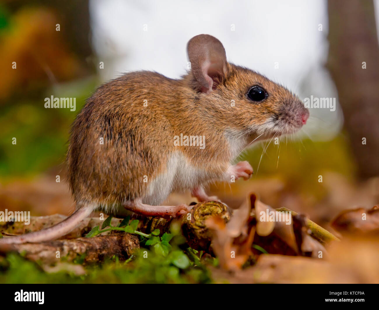 Yellow necked mouse (Apodemus flavicollis) seen from side in natural forest habitat - Stock Image