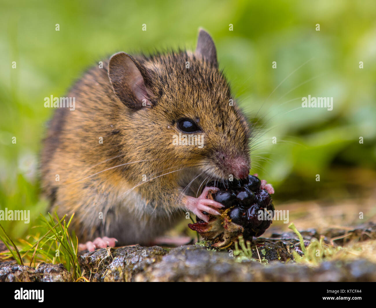 Wild wood mouse eating raspberry - Stock Image