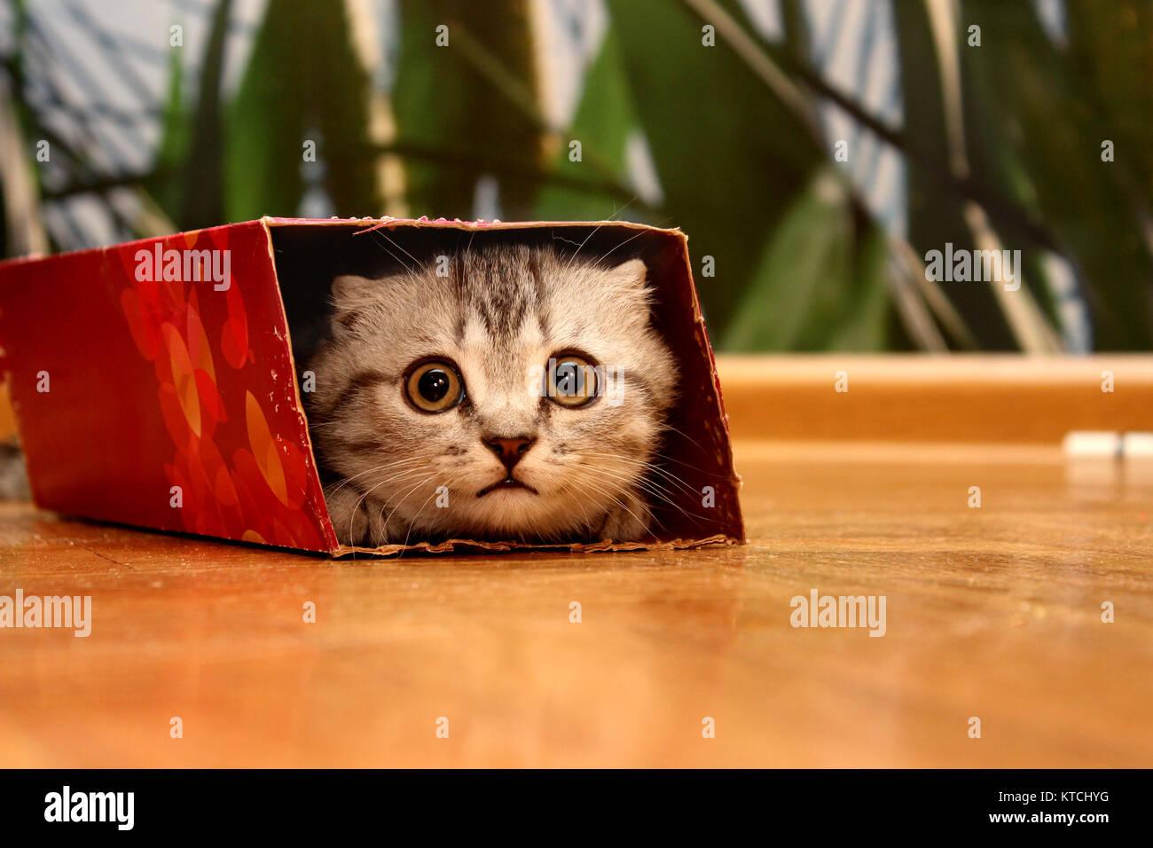 Scottish kitten peeking out of the box. - Stock Image