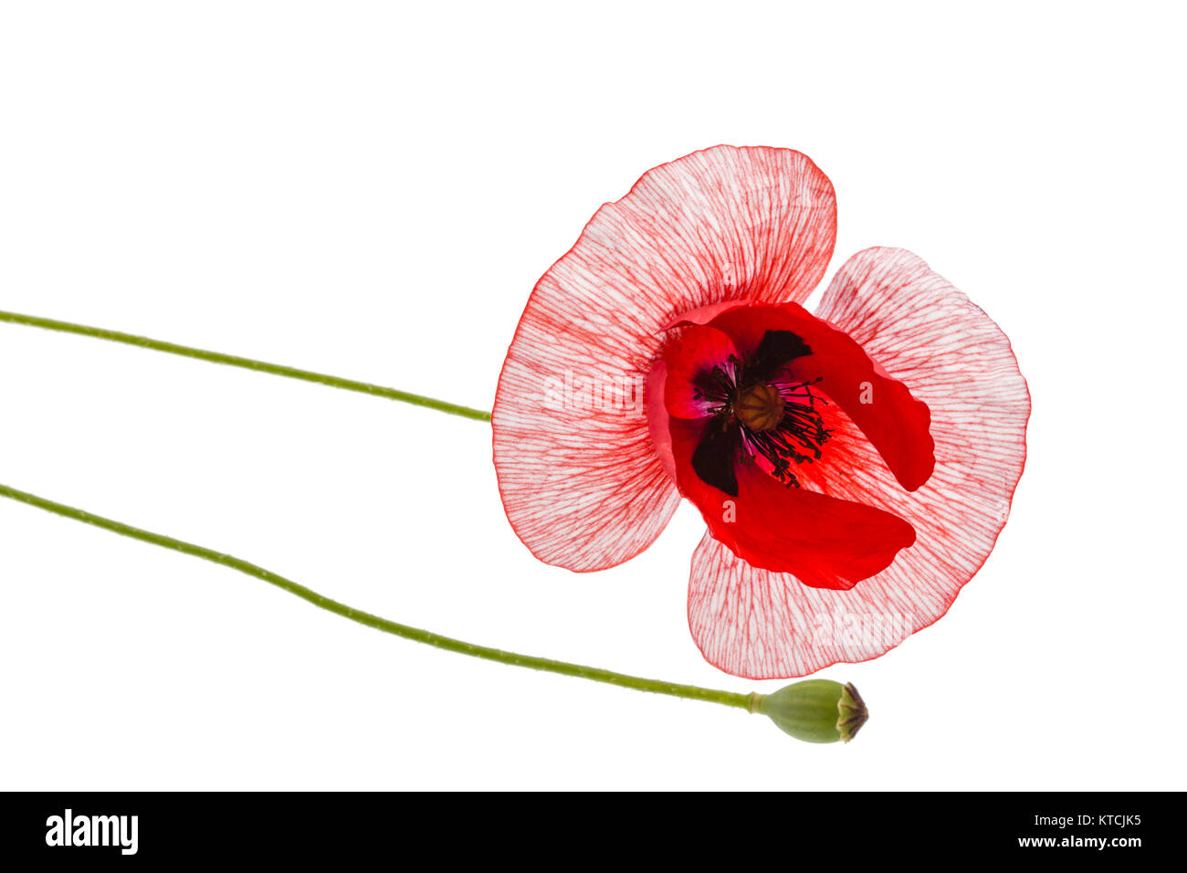 The Flower Of A Poppy With Unusual Coloring Of Petals Isolated On