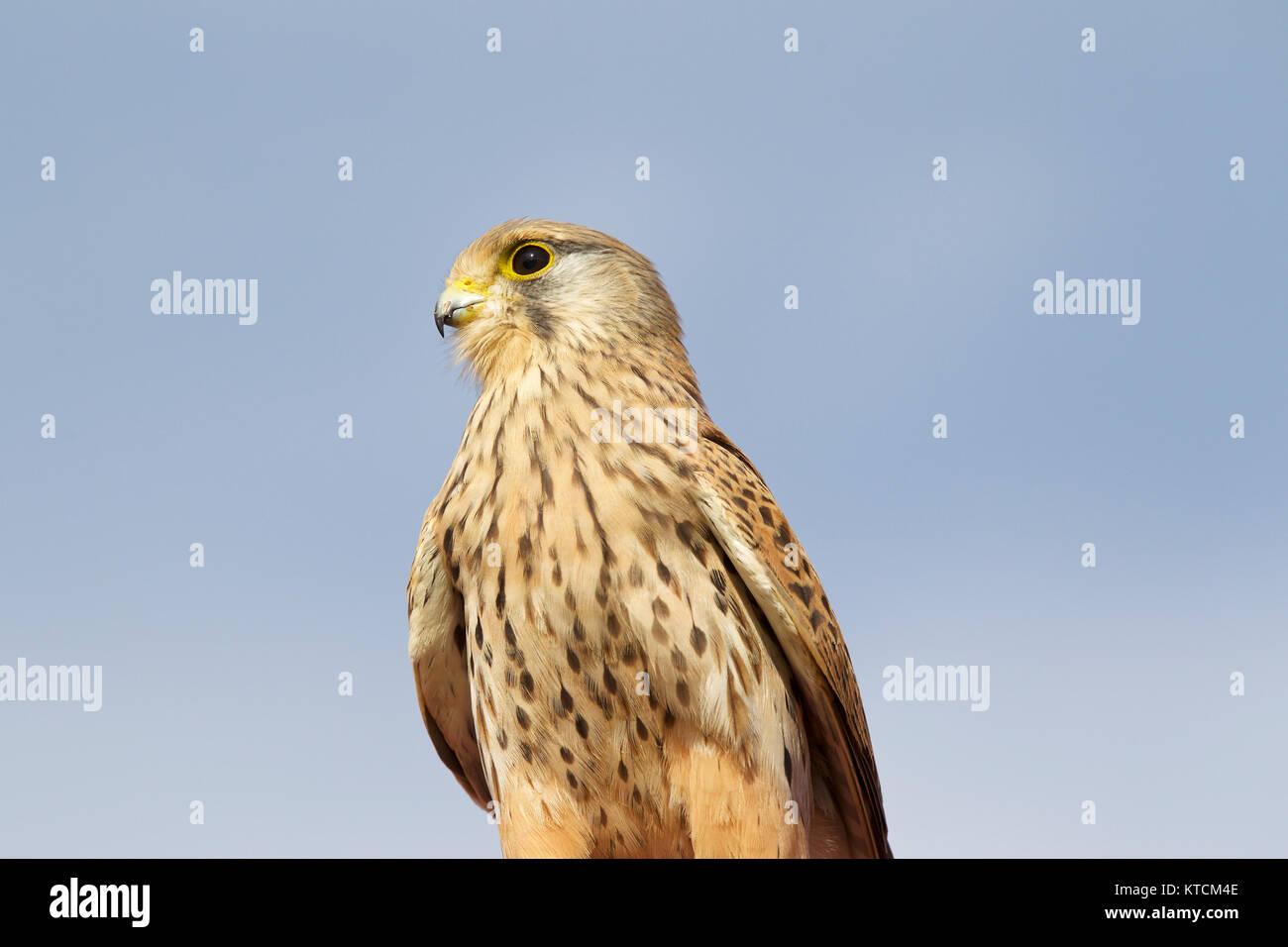 Proud bird of prey falcon family, Cyprus Stock Photo