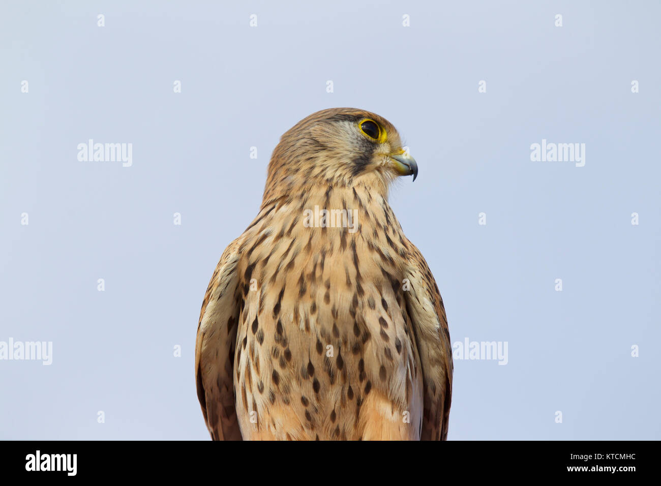 Proud bird of prey falcon family, Cyprus Stock Photo