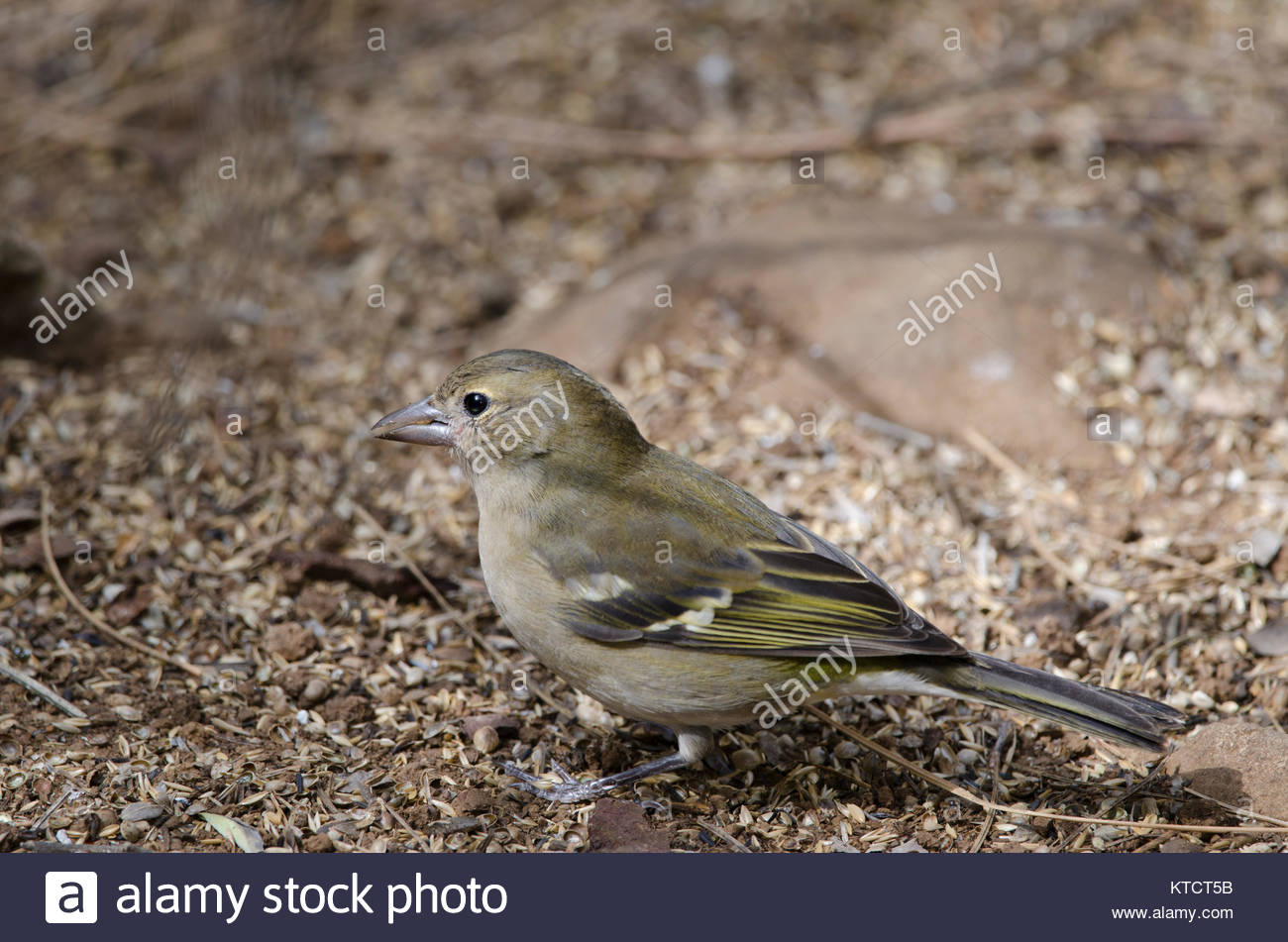 Common chaffinch (Fringilla coelebs canariensis). Female. The Nublo Rural Park. Tejeda. Gran Canaria. Canary Islands. - Stock Image