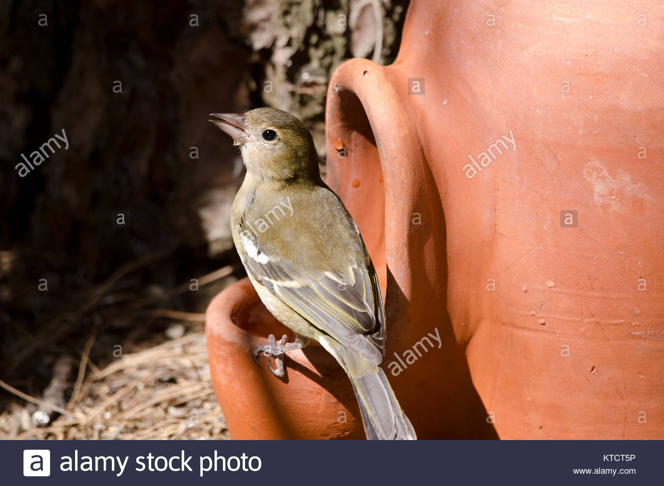 Common chaffinch (Fringilla coelebs canariensis). Female drinking in a water jar. The Nublo Rural Park. Tejeda. - Stock Image