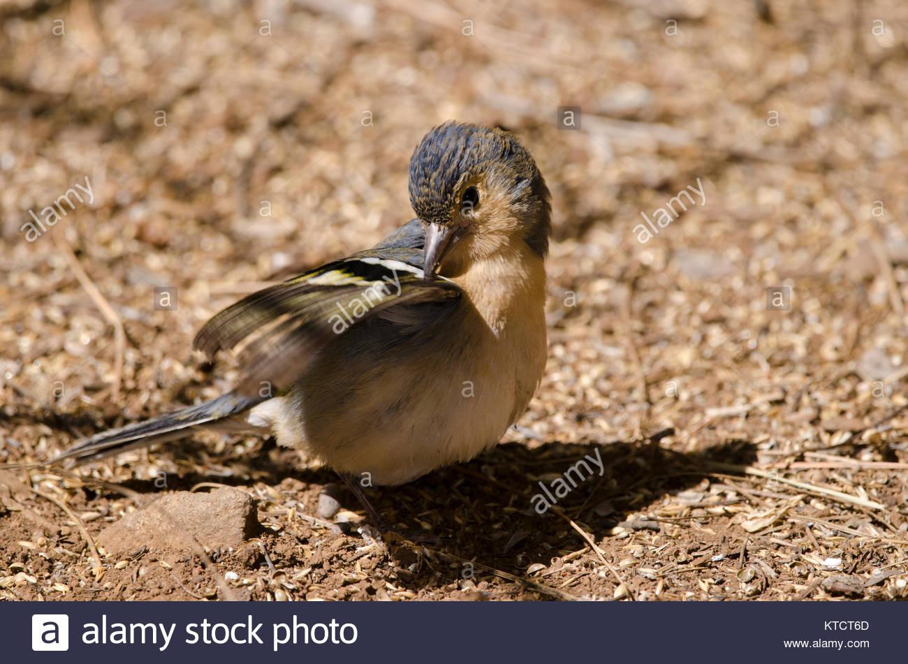 Common chaffinch (Fringilla coelebs canariensis). Male preening. The Nublo Rural Park. Tejeda. Gran Canaria. Canary - Stock Image