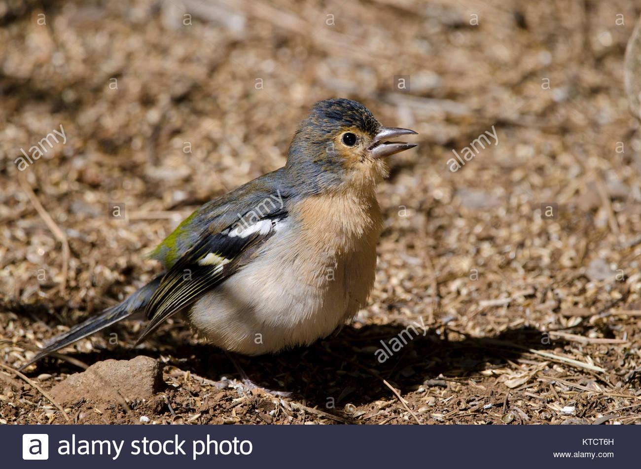Common chaffinch (Fringilla coelebs canariensis). Male calling. The Nublo Rural Park. Tejeda. Gran Canaria. Canary - Stock Image