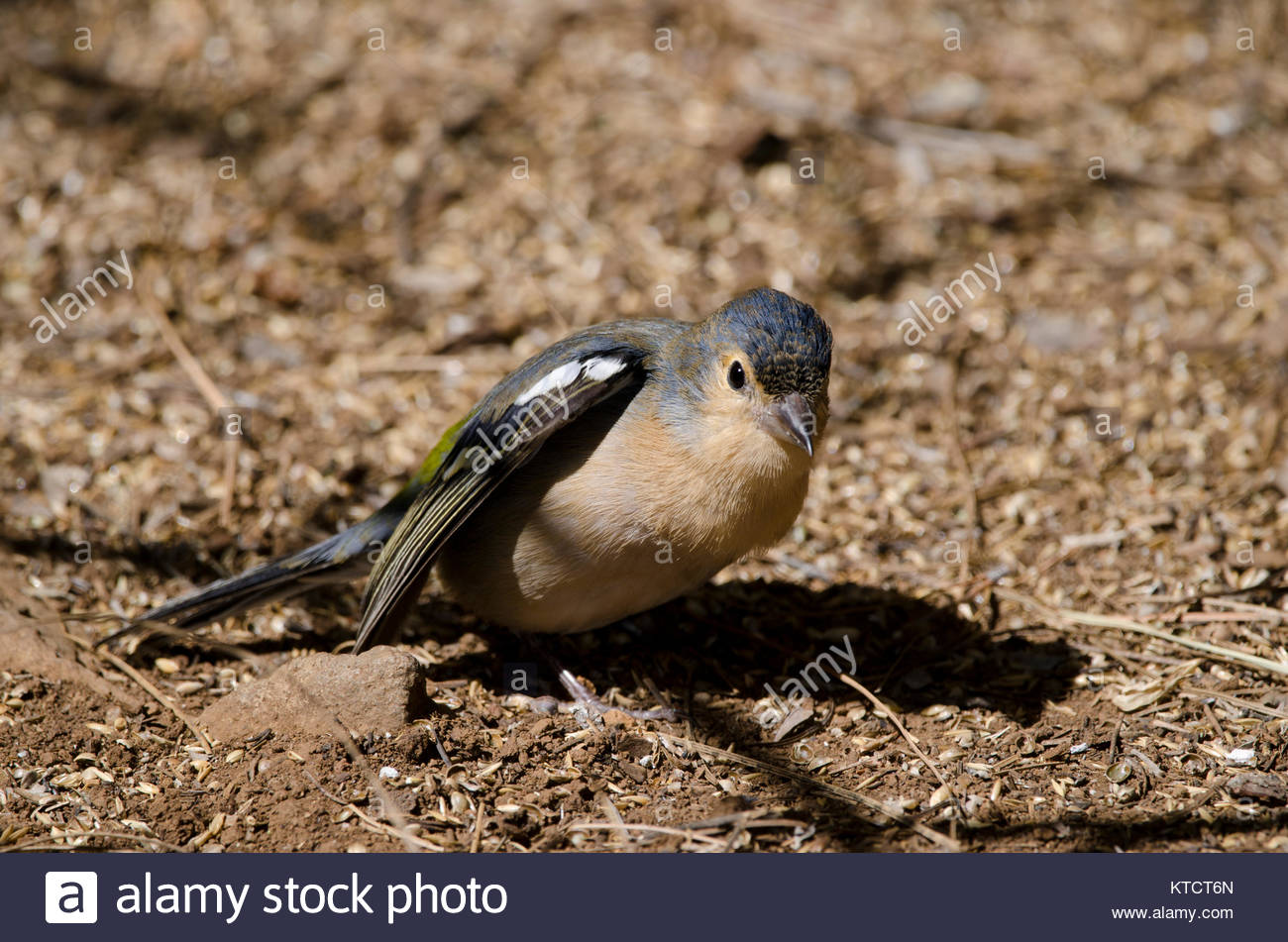 Common chaffinch (Fringilla coelebs canariensis). Male stretching. The Nublo Rural Park. Tejeda. Gran Canaria. Canary - Stock Image