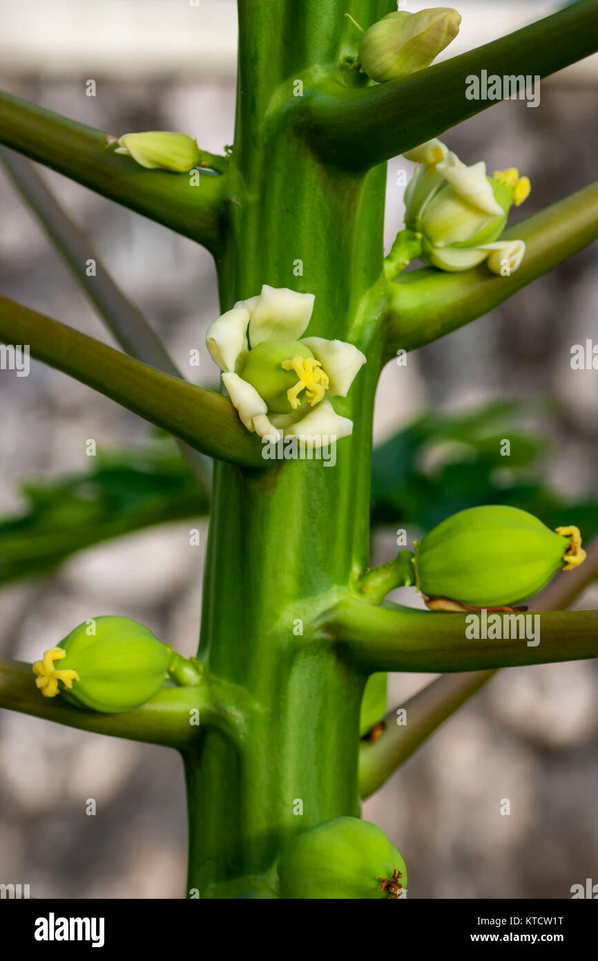 Papaya tree with flowers and juvenile fruit in jamaica, caribbean, west-indies - Stock Image