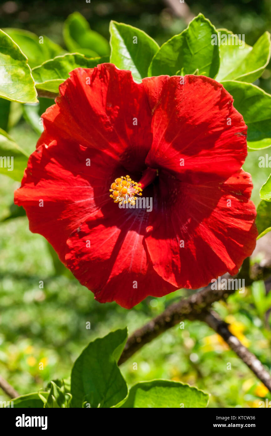 Indian hibiscus flowers stock photos indian hibiscus flowers stock single hibiscus flower stock image izmirmasajfo