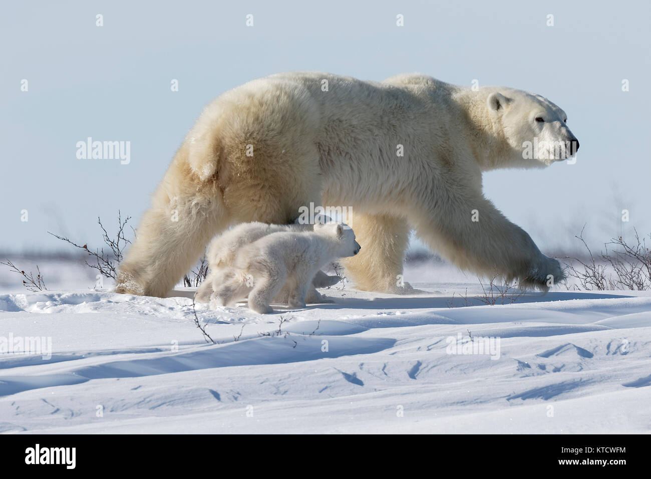 POLAR BEAR BABIES CUDDLING WITH MOM ON THE TUNDRA IN WAPUSK NATIONAL PARK. - Stock Image