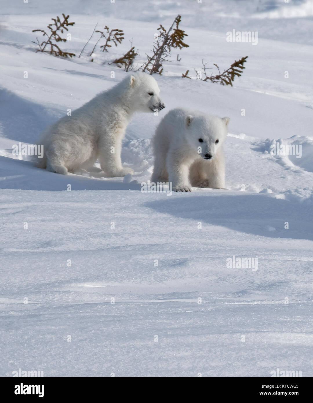 POLAR BEAR BABIES CUDDLING WITH MOM ON THE TUNDRA IN WAPUSK NATIONAL PARK. - Stock Image