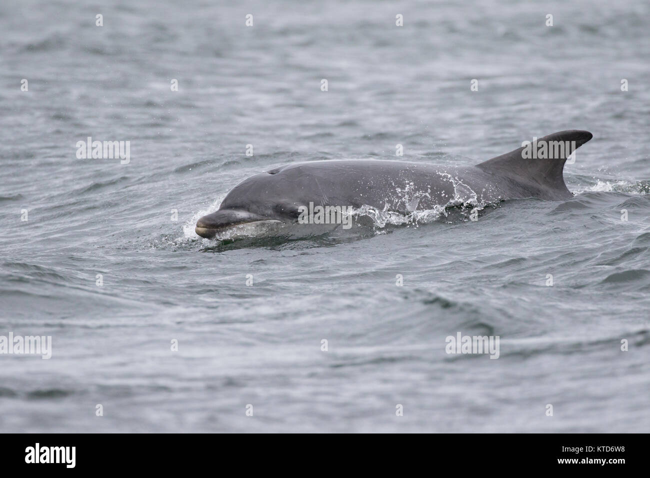 Bottlenose dolphin (Tursiops truncatus) swimming / surfing in the Moray Firth, Chanonry Point, Scotland, UK - Stock Image