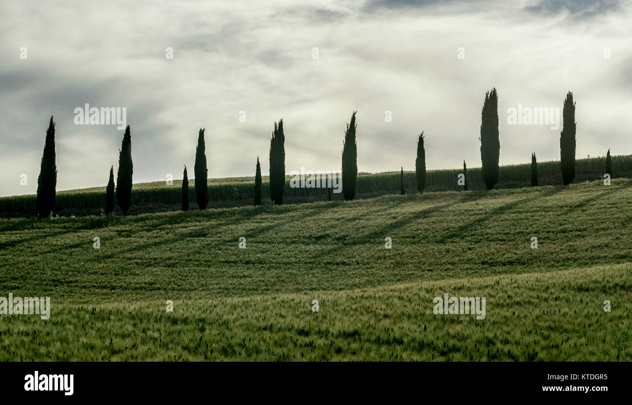 TUSCANY JUNE 2:cypress Trees In The Landscape Of Orcia Valley,Tuscany,