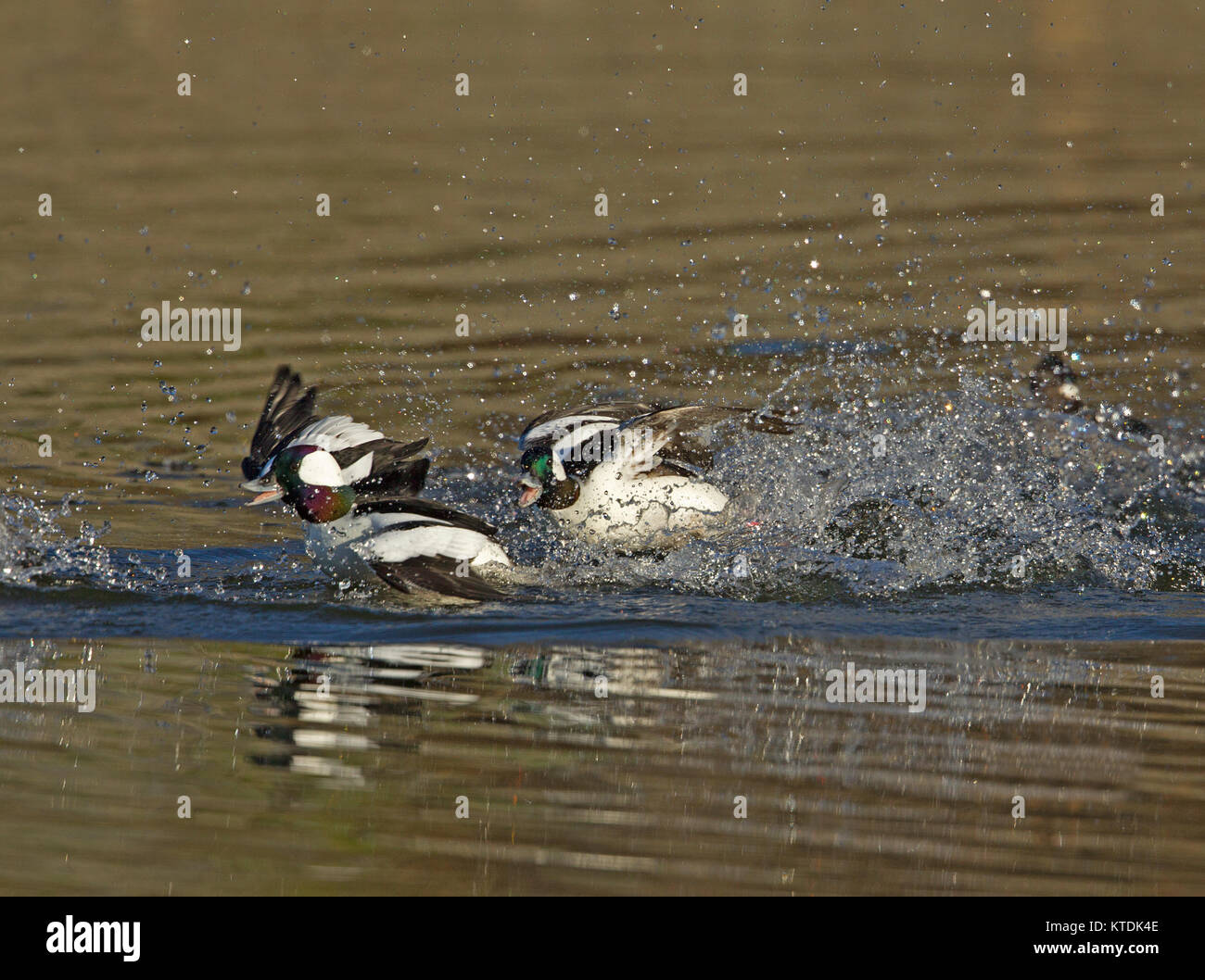 Bufflehead males chasing one another - Stock Image