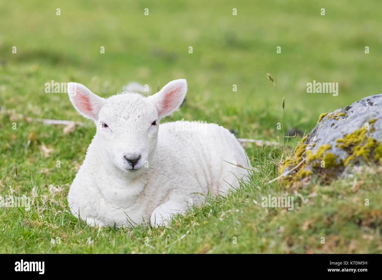 Great Britain, Scotland, Scottish Highlands, flock of sheep - Stock Image