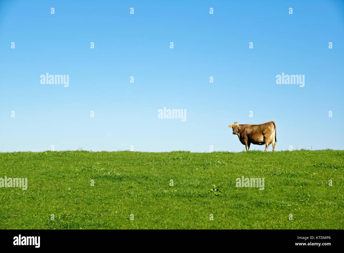 Kuh auf der Weide, AllgŠu, Bayern, Deutschland, Stock Photo