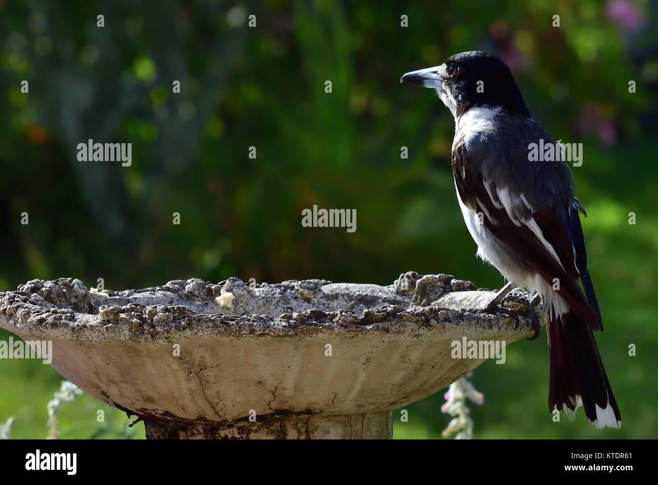 An Australian Grey Butcherbird resting on a Birdbath - Stock Image