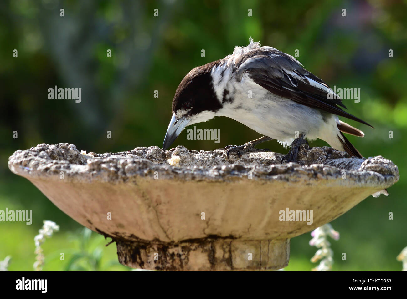 An Australian Grey Butcherbird dropping food into a Birdbath - Stock Image