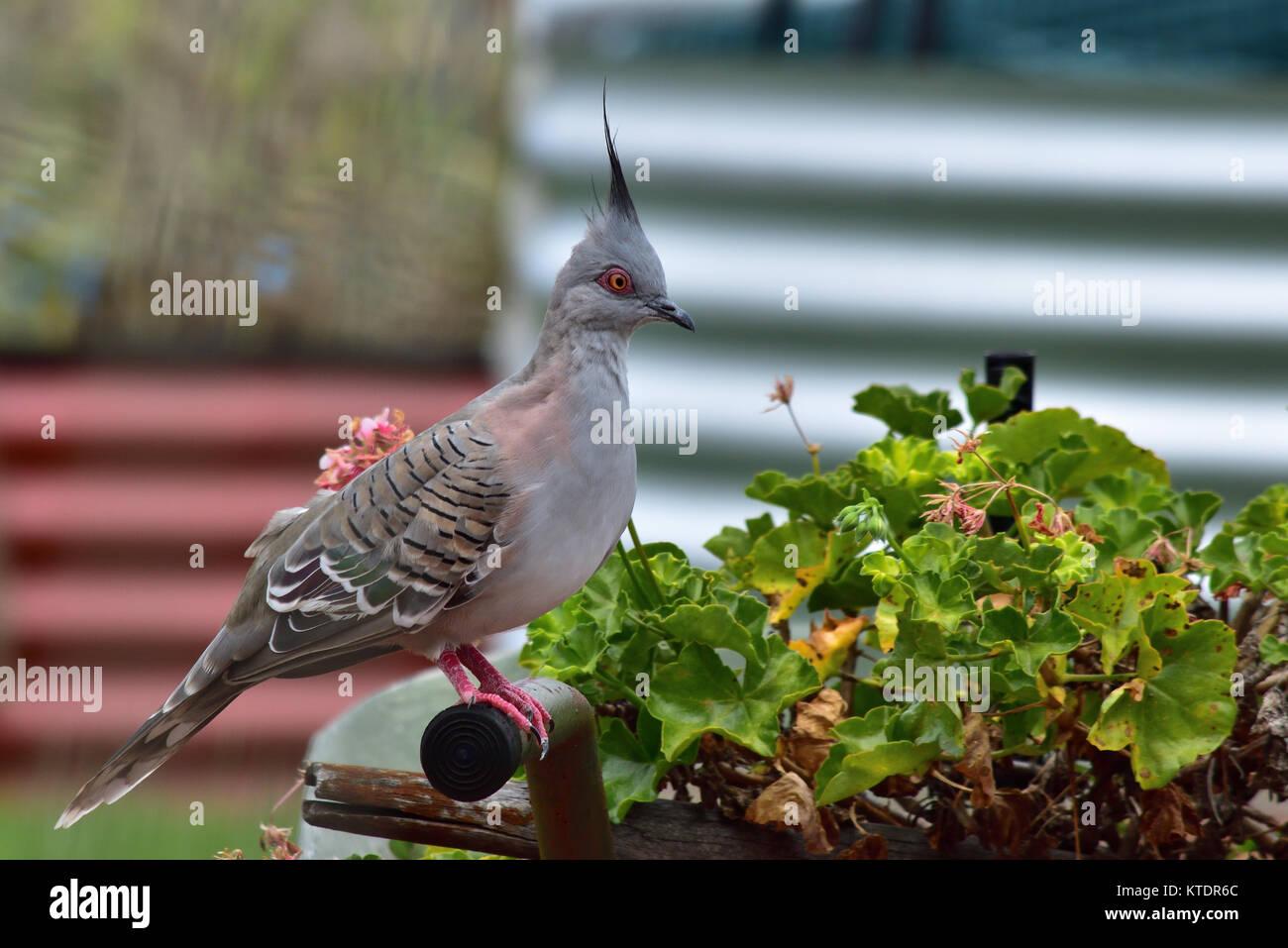 An Australian Crested Pigeon resting on a Garden Wheelbarrow - Stock Image