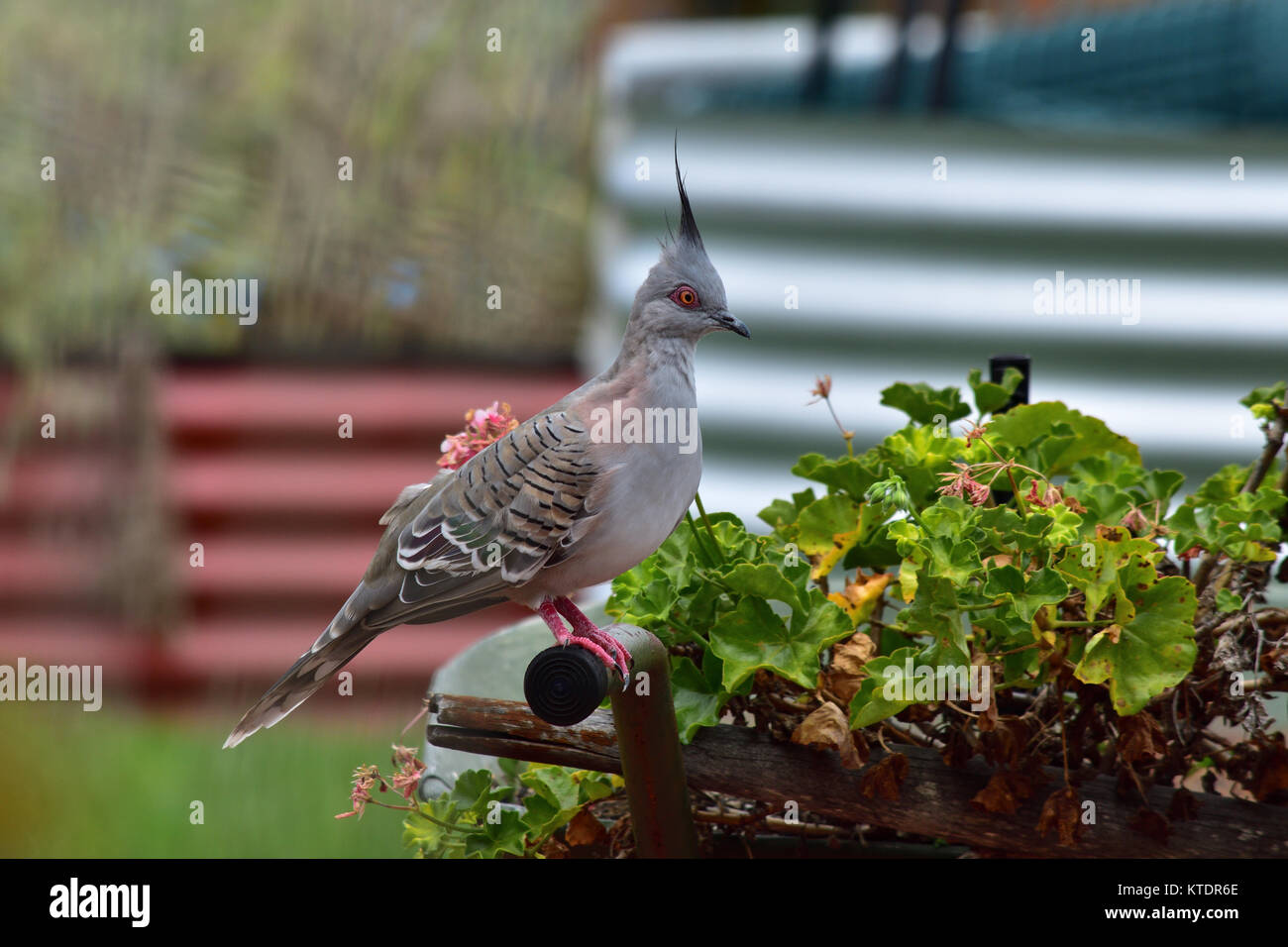 An Australian Crested Pigeon resting on a Garden Wheelbarrow Stock Photo