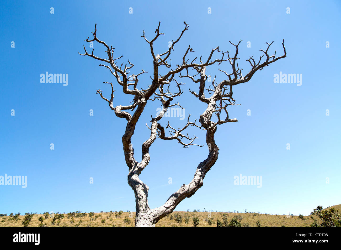Dramatic dead Rhododendron arboreum tree branches blue sky, Horton Plains National Park, Central Province, Sri Lanka, - Stock Image