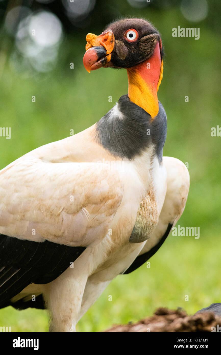 King vulture (Sarcoramphus papa) - La Laguna del Lagarto Lodge, Boca Tapada, Costa Rica Stock Photo