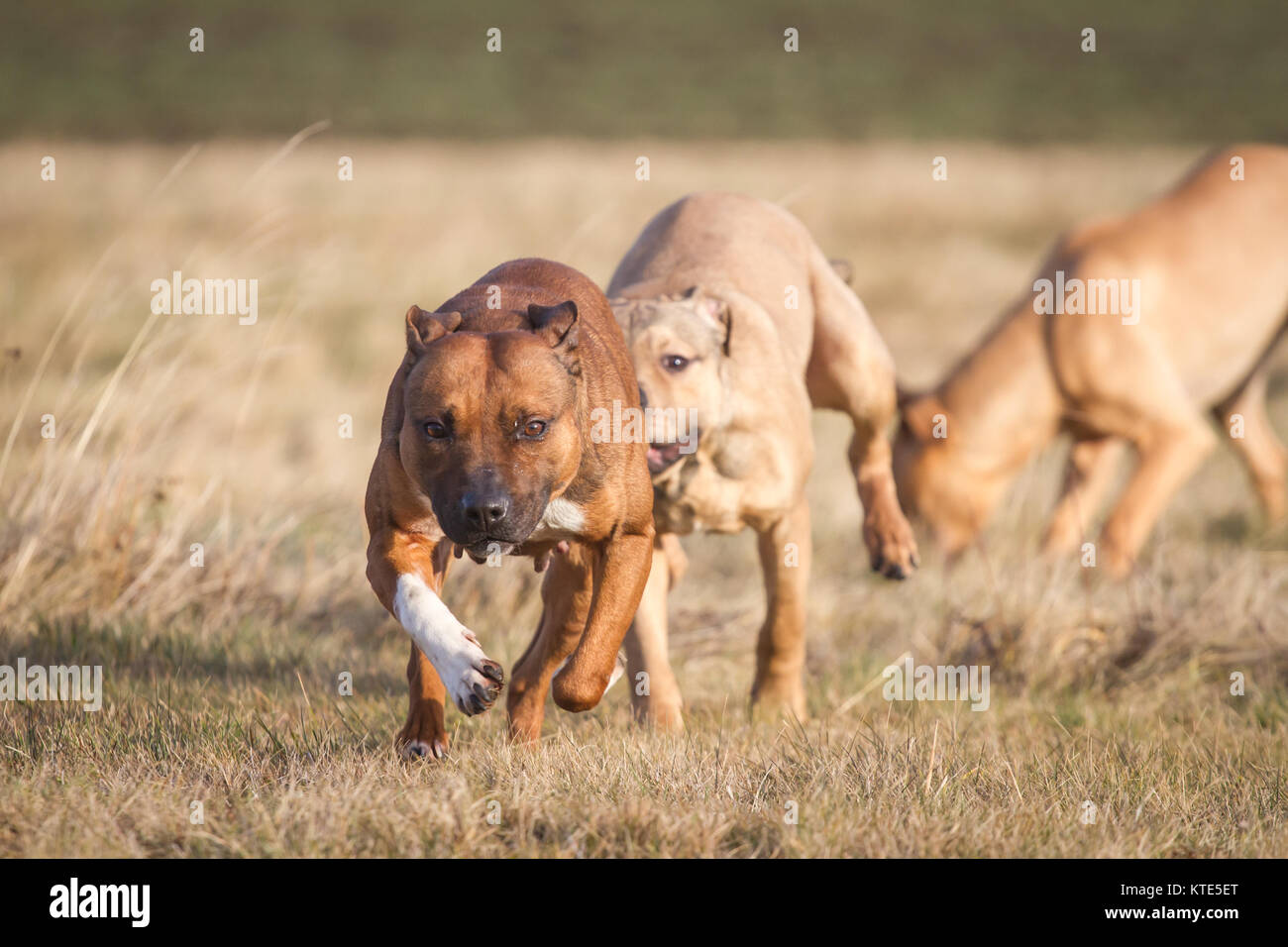 American Pit Bull Terriers running and playing - Stock Image