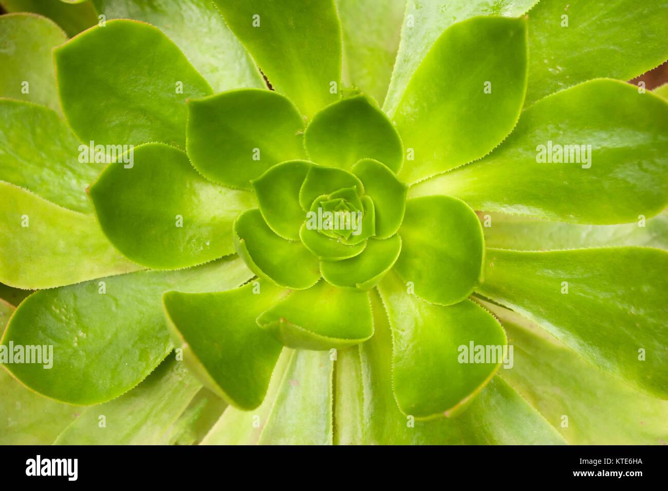 Echeveria succulent macro photograph, tenerife, spain, europe - Stock Image