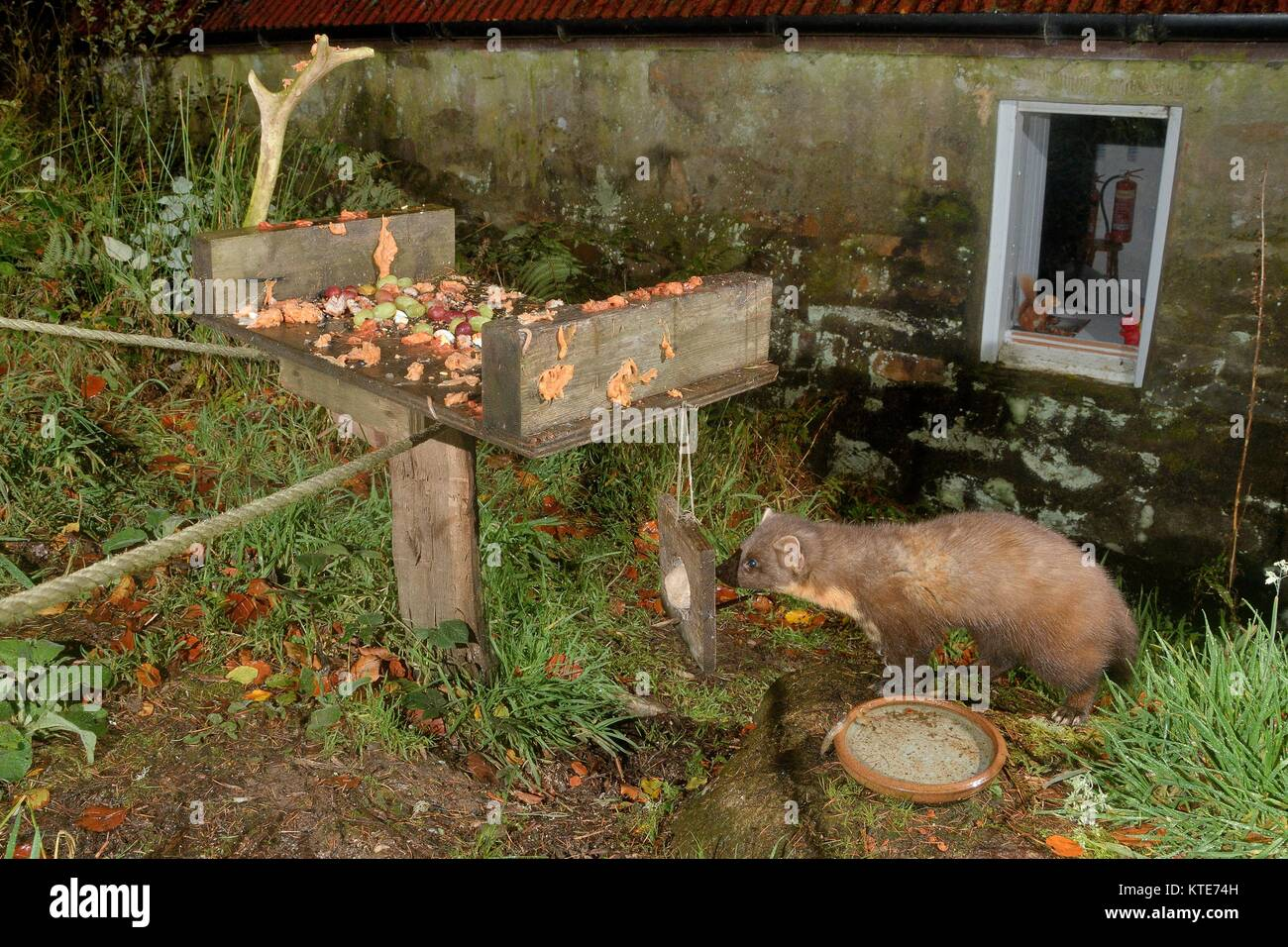Adult male Pine Marten (Martes martes) visiting a bird table at an ecotourism centre at night to feed, Knapdale, - Stock Image