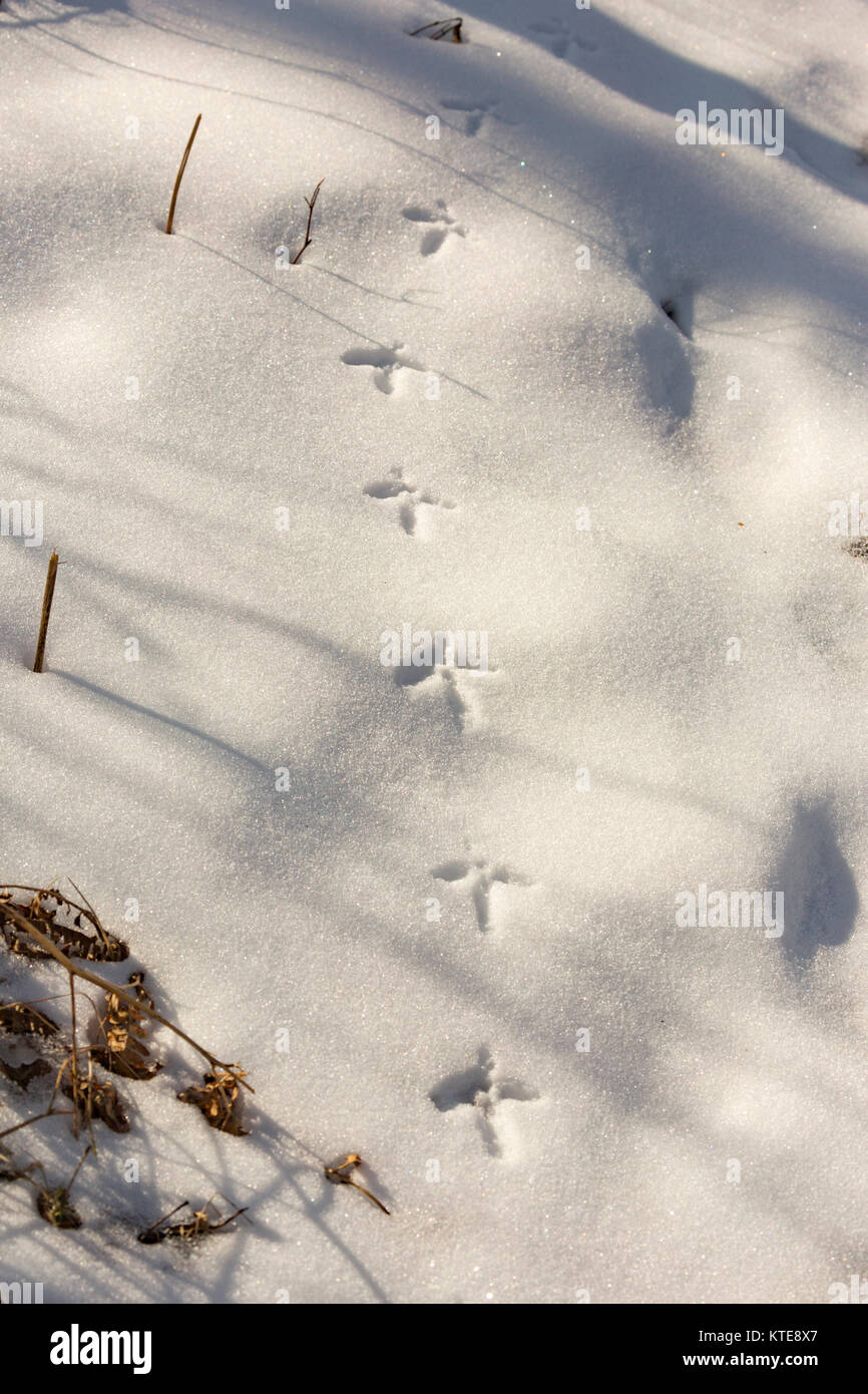 Ruffed grouse tracks in the snow - Stock Image