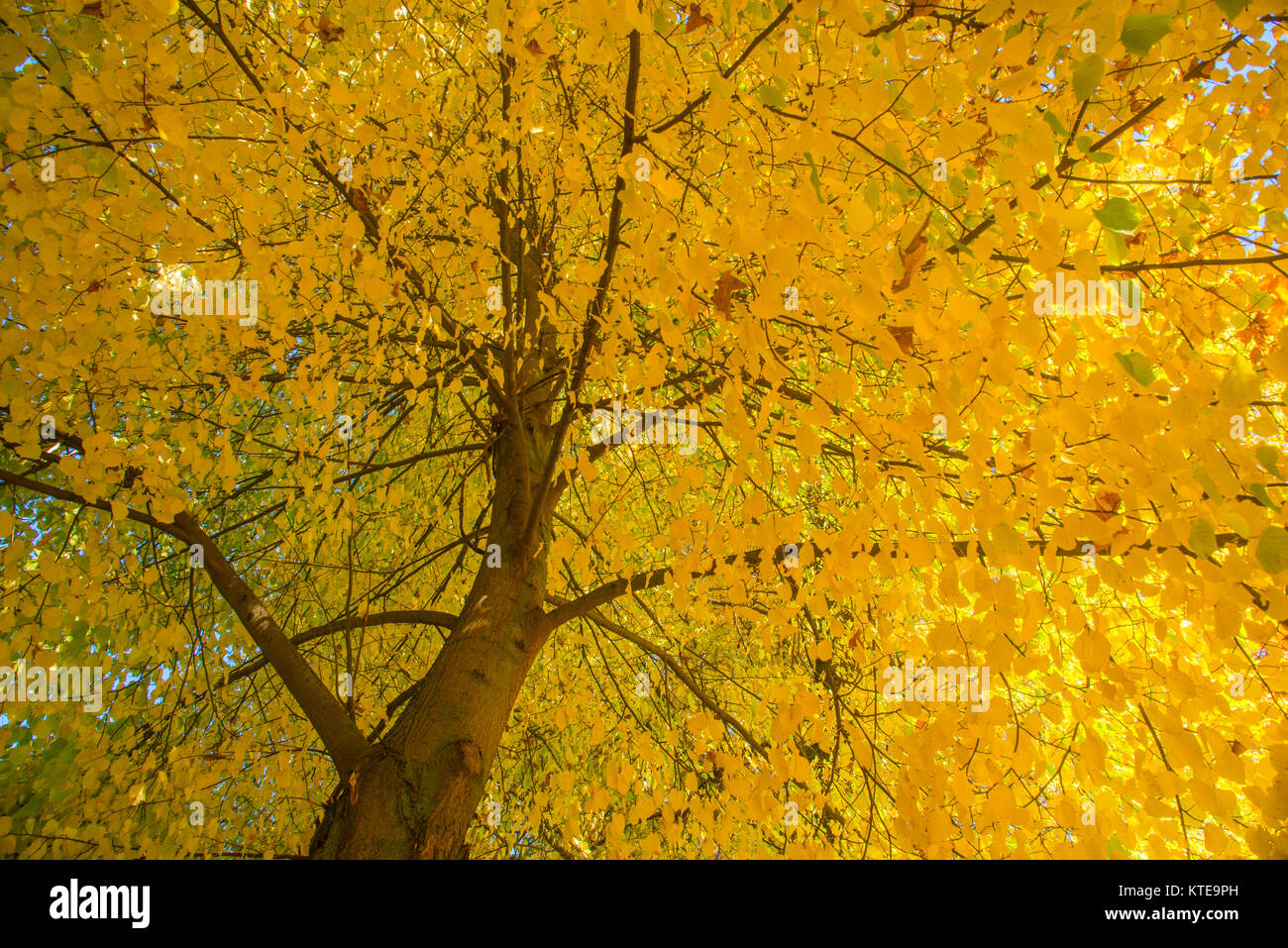 Autumn tree. View from below. - Stock Image