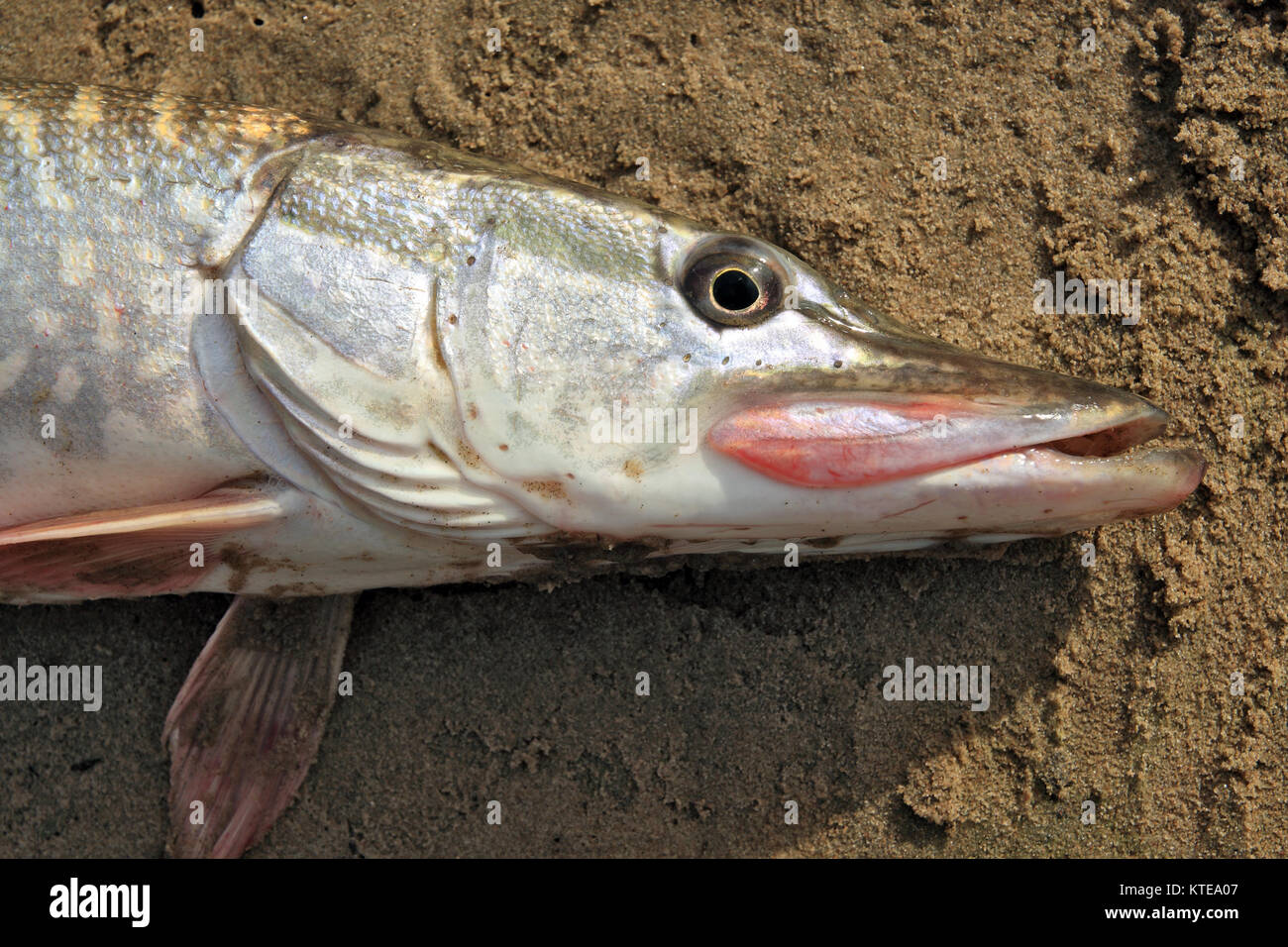 Pike Jaw Stock Photos & Pike Jaw Stock Images - Alamy