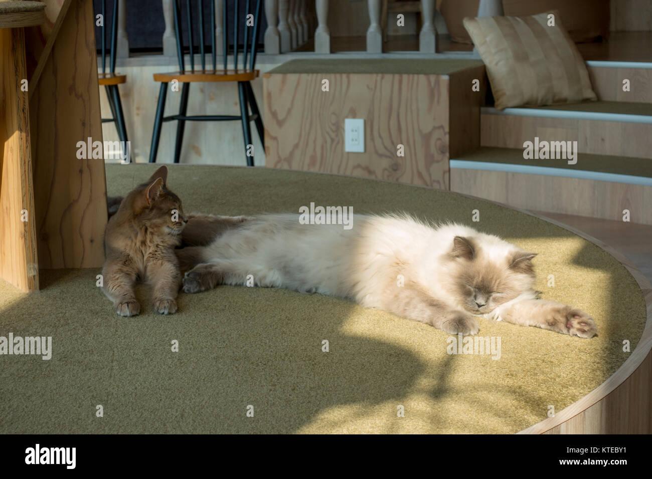 Cats Sleeping In Autumn Shine At Mocha Cat Cafe Harajuku Tokyo Stock Photo Alamy